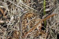 Female Berus. (ChristianMoss) Tags: adder snake vipera berus