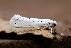 Spindle Ermine --- Yponomeuta cagnagella (creaturesnapper) Tags: lepidoptera moths micromoths insects uk europe spindleermine yponomeutacagnagella yponomeutidae nationalmothweek