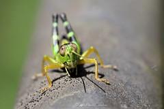 Orthoptera (CarloAlessioCozzolino) Tags: cornatedadda portodadda insetto insect bug macro orthoptera ortottero