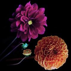 Dahlias (Pixel Fusion) Tags: nature nikon flora flower aperture macro d600 photoshop dahlia