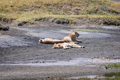 (Markus Hill) Tags: travel nature animal canon tanzania lion safari ngorongoro crater arusha löwe tansania 2019