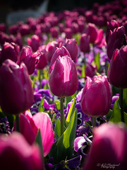 Imperial (Through_Urizen) Tags: category eskisehir flora places tulip turkey yunusemrecampus canon70d canon sigma105mmmacro outdoor floral garden flowers flowerbed sunlight tulips pansies leaves colouful monochrome purple plant dof