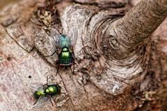 Green bottles (schwana) Tags: green bottle fly uk mk flies