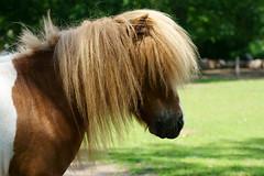 Pony (PictureBotanica) Tags: tiere säugetiere pferde equus wildpark essehof