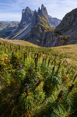 When The Flowers Are Past Their Best (ttarpd) Tags: dolomites italy europe unesco world heritage site worldheritagesite naturalheritage alps nature landscape seceda val gardena valgardena south tyrol alpediseceda parco naturale cislesodle reserve odle odlegroup oritsei bolzano fermeda towers granfermeda picfermeda
