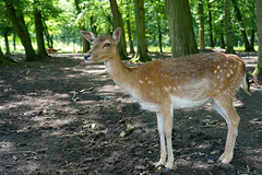 Dama dama - Damwild (PictureBotanica) Tags: tiere säugetiere wild dammhirsch wald wildpark essehof