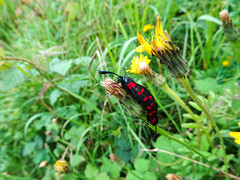 Six-spot burnets mating, 2019 Jul 21 (Dunnock_D) Tags: britain chester england gb meadows uk unitedkingdom black burnet burnets closeup copulation couple dandelions grass green insect insects mating moth moths pair red sixspot spots two coupling