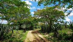 MEXIKO, Yucatán , Hacienda Sotuta de Peón, Sisalplantage,  19107/11768