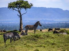 PLAIN'S ZEBRA: AFRICAN BAR CODES (John C. Bruckman @ Innereye Photography) Tags: plainszebra kenya maasaimara stripes heatcontrol camouflage pattern barcodes foals migration serengeti tanzania
