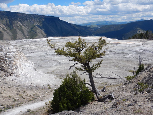 Pinus flexilis - limber pine