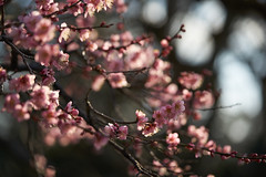 Plum flowers (Christophe-la) Tags: kyoto japan japon kansai 京都 nijocatle nijojo nijōjō 二条城 unescoworldheritage unesco worldheritage
