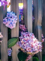 Santa Cruz Flowers (Graham Gibson) Tags: santa cruz a7rii sony fe vacation