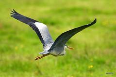 Photo of Grey Heron - Braunton Marsh 20-06-2019 12-23-54