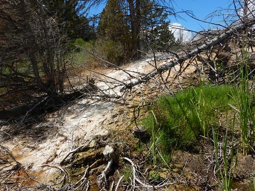 Muhlenbergia richardsonis - mat muhly