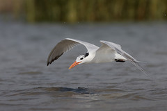 Royal Tern (Greg Lavaty Photography) Tags: royaltern thalasseusmaximus texas july bolivarflats shorebirdsanctuary galvestoncounty water beach birdphotography outdoors bird nature wildlife