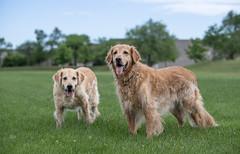 Olden Goldens (Rainfire Photography) Tags: goldenretriever dogs senior field scarborough ontario nikond850