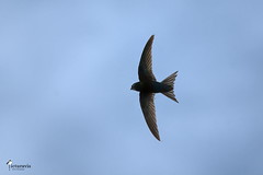 Common swift (Picturavis) Tags: imflug vogel bird germany animal tier deutschland hallesaale mauersegler inflight abteiundsaaleauebeiplanena apusapus commonswift picturavis naturschutzgebiet