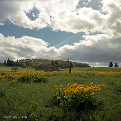 Windy Spring Day Near Mosier, Oregon (Gary L. Quay) Tags: mosier oregon wildflower hasselblad balsamroot hcrh historiccolumbiariverhighway morning columbiagorge dawn spring blossom flower bloom yellow film analog mediumformat filmphotography kodak portra garyquay carlzeiss