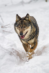 Wolf walking in the snow (Tambako the Jaguar) Tags: wolf canid canine dog walking pacing portrait tongue snow winter cold siky park zoo crémines switerland nikon d5