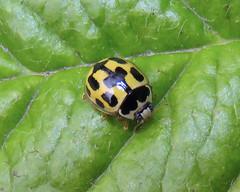 14-Spot ladybird, Kingstown Wildlife Pond, 21 July 19 (gillean55) Tags: canon powershot sx60 hs superzoom bridge camera north cumbria carlisle kingstownwildlifepond wakefieldroad 14spotladybird propyleaquattuordecimpunctata coleoptera