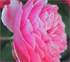 Rosarote Geburtstagsgrüße