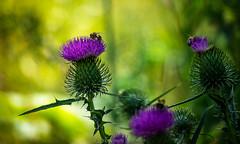 Biene Flikr (ulrich.dettmer) Tags: soligor bienetre biene bienestar bee nature bienen