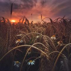 Sunset Glow (M a r i k o) Tags: iphone iphonex iphoneography iphonephotography mobile mobilephotography mariko square field grain feld flowers chamomile daisies sun light sunset mextures snapseed lenslight