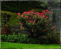 Sun Shower with Knockout Roses   Red Oak Park neighborhood   Marietta, GA (steveartist) Tags: rain sunshower street trees grass groundcover rosebush knockoutroses mailbox wetstreet wetgrass sonydscwx220 stevefrenkel