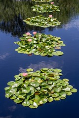 Lily Reflections (Stuart Borrett) Tags: art nc ncma raleigh cmb museum reflection plant flower lily