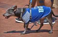 Hot & Happy (Scott 97006) Tags: dog shirt canine animal pet cute leash walk