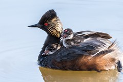 There are no free rides (Tracey Rennie) Tags: alberta franklake earedgrebe grebe lake parenting bird grebelets