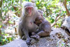 #柴山 #高雄 #台灣獼猴 #Chaishan #TaiwaneseMacaque (mb10001114) Tags: sony a6000 ilce6000 epz18105mmf4g selp18105g taiwan kaohsiung taiwanesemacaque chaishan dslr monkey macaque animal cute 台灣 高雄 柴山 台灣獼猴 猴 獼猴