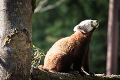 Panda Roux (M4kn4sh) Tags: pandaroux firefox animal captive pairidaiza zoo nikond5600 nikon d5600 sigma animalscale ailurusfulgens ailuridés ailuridae endangered cute panda nature tree carnivora outdoors looking