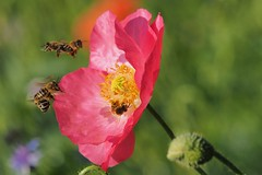 Bild 3 2201_busy bees... (alfred.reinartz) Tags: bee blume flower biene