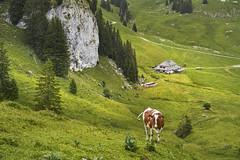 A lonely cow weeps at dusk (Karl Le Gros) Tags: xaviervonerlach 2019 vache lelapé chaletlelapé cantondefribourg valléedupetitmont dusk rural pastures switzerland préalpesfribourgeoises