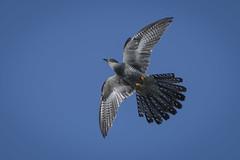cuckoo (madziulka_a) Tags: cuckoo poland bird wildlife nature nikon d850 nikkor 200500mm photography kukułka