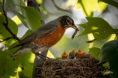 American Robin with chicks (jt893x) Tags: 150600mm americanrobin bird chick d500 jt893x nikon nikond500 robin sigma sigma150600mmf563dgoshsms thrush turdusmigratorius coth coth5 alittlebeauty thesunshinegroup sunrays5