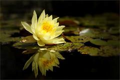 Seerose (Nymphaea) (Judith Noack) Tags: seerose blume flower nymphaea waterlily botanik pflanzen plants lake see teich blüte blossom