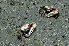 Fiddler crabs-2 (johnaalex) Tags: huntingtonbeachstatepark d850 nikonafs80400f4556g southcarolina usa america crab