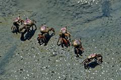 Fiddler crabs-1 (johnaalex) Tags: huntingtonbeachstatepark d850 nikonafs80400f4556g southcarolina usa america crab