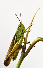Feldheuschrecke (Mark Montag) Tags: berlin nature natur insects insekten köpenick stadtnatur orthoptera heuschrecke kurzfühlerschrecke acrididae feldheuschrecke
