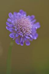 Bluebutton (pstenzel71) Tags: blumen natur pflanzen bluebutton fieldscabiosa scabiosa knautiaarvensis ackerwitwenblume darktable flower bokeh