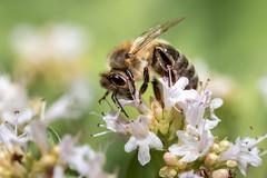 Biene im Oregano (Jana`s pics) Tags: insekten insects bienen bees makro makrofotografie nahaufnahme macro macrophotography closeup close tiere tierfotografie animals animalphotography natur naturfotografie nature naturephotography
