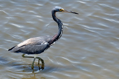 Tricolored heron-2 (johnaalex) Tags: huntingtonbeachstatepark d850 nikonafs80400f4556g southcarolina usa america heron bird