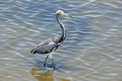 Tricolored heron-1 (johnaalex) Tags: huntingtonbeachstatepark d850 nikonafs80400f4556g southcarolina usa america heron bird
