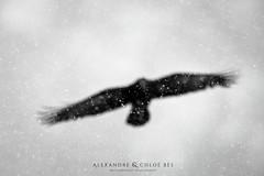 Blurry Raven (Alexandre & Chloé Bès - Waitandshoot Photography) Tags: raven wildlife corbeau bird flight snowing winter hokkaido japan nature animal oiseaux black blurry canon waitandshoot