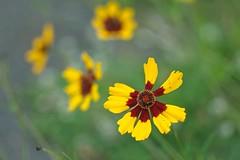 Standing out - HSS! (JSB PHOTOGRAPHS) Tags: nd38760 bokehlicious bokeh flowers owenmemorialrosegarden eugeneoregon sliderssunday hss mamiya seckor macro c 80mm f4 n nikon d3