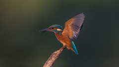Kingfisher ( Alcedo atthis ) (Dale Ayres) Tags: kingfisher alcedo atthis bird nature wildlife