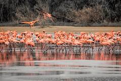 Flamingos en la Reserva de Fauna Cuare... (José Pestana) Tags: america americadelsur americaamérica amerika américa américadelsur américas amérika amérique animal animales botanic caribe dabeecadda eðli falcón fotografía green iso indalo iseda josépestana jungle lentesonye55210mmf4563oss lentes natura naturaleza paises reservadefaunacuare sony sonynex sonynex6 southamerica sudamérica suramerica suramérica veven venezuela амерыка судамерица আমেরিকা အမေရိကတိုက် 印第安委員會 chichiriviche