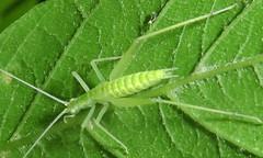 Common Tree Cricket, Oecanthus sp., nymph, Billie Johnson Mountain Lakes Nature Preserve, Princeton, NJ (Seth Ausubel) Tags: gryllidae orthoptera oecanthinae